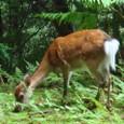 もののけ姫の森にいた鹿